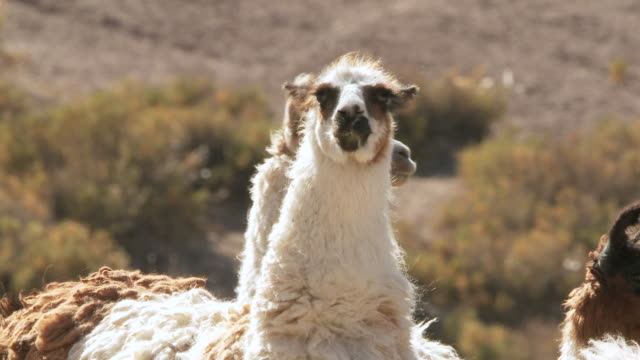 vídeos y material grabado en eventos de stock de cu shot of llama, lama glama on altiplano in andes mountains / san pedro de atacama, norte grande, chile - lama