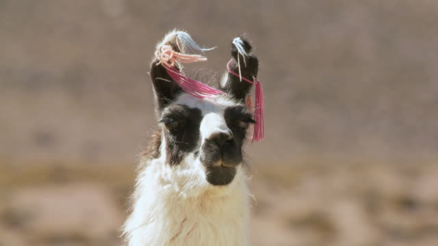 cu tu shot of llama, lama glama on altiplano puna grassland in andes mountains / san pedro de atacama, norte grande, chile - otter stock-videos und b-roll-filmmaterial