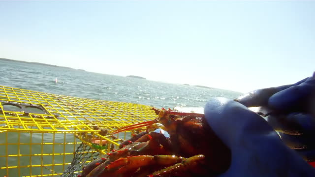 CU TS Shot of Lobster being removed from cage, measured and thrown back in, off coast of  / Montauk, New York State, United States