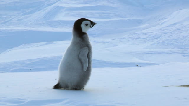 MS TS Shot of lone Emperor penguin chick running in snowfield looking anxious and calling / Dumont D'Urville Station, Adelie Land, Antarctica