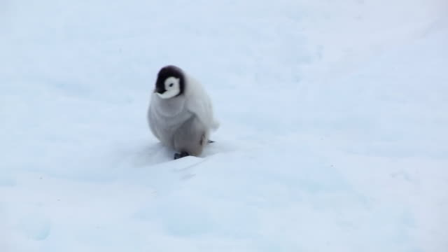 ms ts shot of lone emperor penguin chick running in snowfield looking anxious and calling / dumont d'urville station, adelie land, antarctica - young animal video stock e b–roll