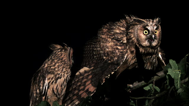 vidéos et rushes de ms shot of long eared owl, asio otus, adults with open beak / calvados, normandy, france  - normandie