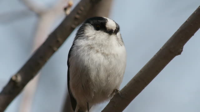 shot of long-tailed tit sitting on branch - long stock videos and b-roll footage