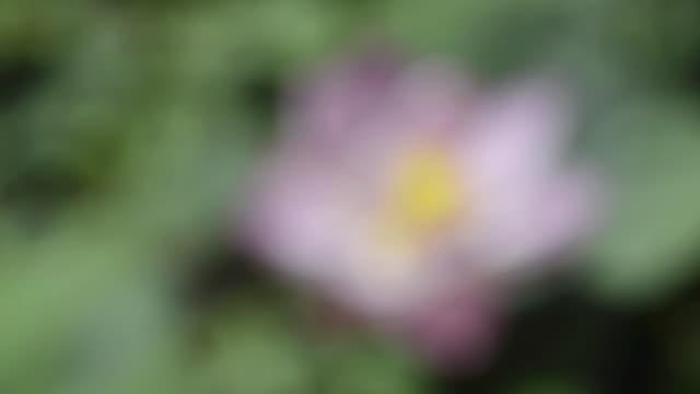 cu shot of lotus flower (nelumbo nucifera) / ubud, bali, indonesia, asia - intoning bildbanksvideor och videomaterial från bakom kulisserna