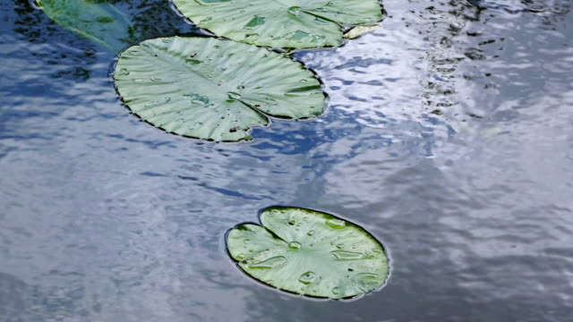 cu shot of lotus leaves on water / leidschendam, south holland, netherlands - south holland stock videos and b-roll footage
