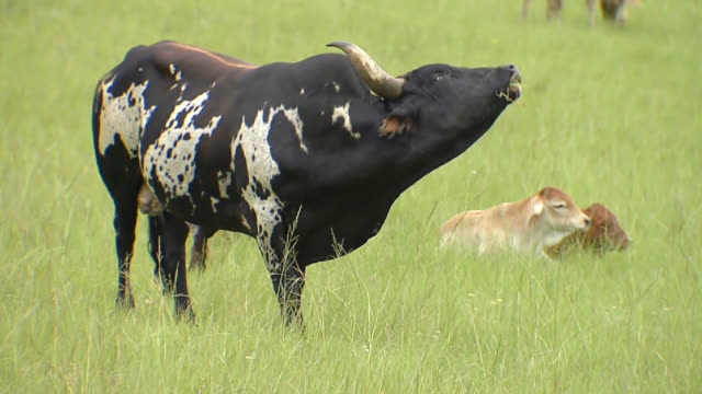 ms shot of male cow chewing on grass / eastern cape, south africa - bull animal stock videos & royalty-free footage
