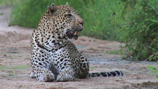 vídeos de stock, filmes e b-roll de ms shot of male leopard lying in riverbed and panting  / kruger national park, mpumalanga, south africa - bigode de animal