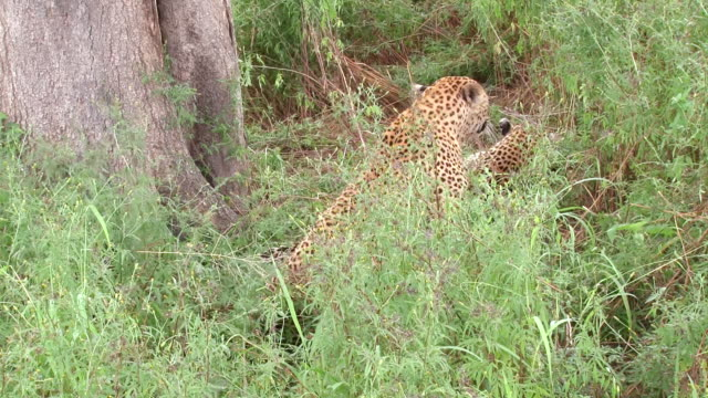 ms shot of male leopard mating with female leopard  / kruger national park, mpumalanga, south africa - mpumalanga province stock videos and b-roll footage