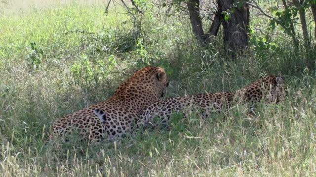 vídeos de stock, filmes e b-roll de ms ts shot of male leopard mating with female leopard  / kruger national park, mpumalanga, south africa - padrão natural