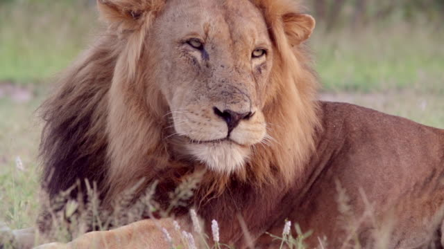 cu slo mo shot of male lion grooming / kruger national park, mpumalanga, south africa - provinz mpumalanga stock-videos und b-roll-filmmaterial