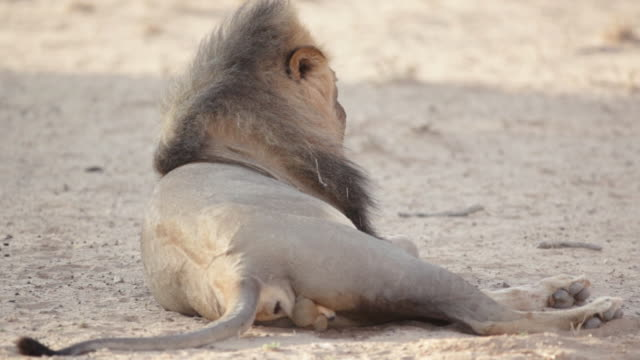 ms shot of male lion lying and urinating / kgalagadi transfrontier park, northern cape, south africa - male animal stock videos & royalty-free footage