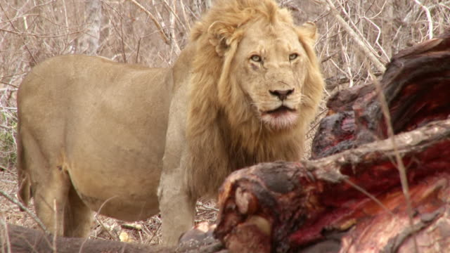 MS Shot of Male lion next to carcass / Kruger National Park, Mpumalanga, South Africa