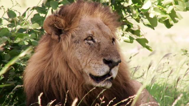 cu shot of male lion resting / kruger national park, mpumalanga, south africa - provinz mpumalanga stock-videos und b-roll-filmmaterial
