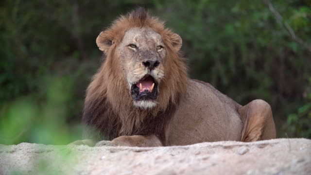 ms shot of male lion resting / kruger national park, mpumalanga, south africa - mpumalanga province stock videos and b-roll footage