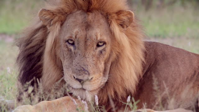 cu slo mo shot of male lion resting / kruger national park, mpumalanga, south africa - mpumalanga province stock videos and b-roll footage