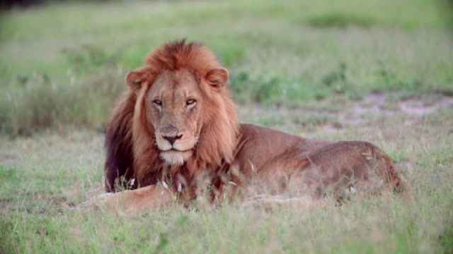 ms slo mo shot of male lion resting / kruger national park, mpumalanga, south africa - mpumalanga province stock videos and b-roll footage