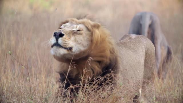 vídeos de stock e filmes b-roll de ms slo mo shot of male lion stalking / kruger national park, mpumalanga, south africa - animal macho