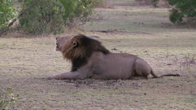 ws slo mo shot of male lion vocalizing / kruger national park, mpumalanga, south africa - mpumalanga province stock videos and b-roll footage