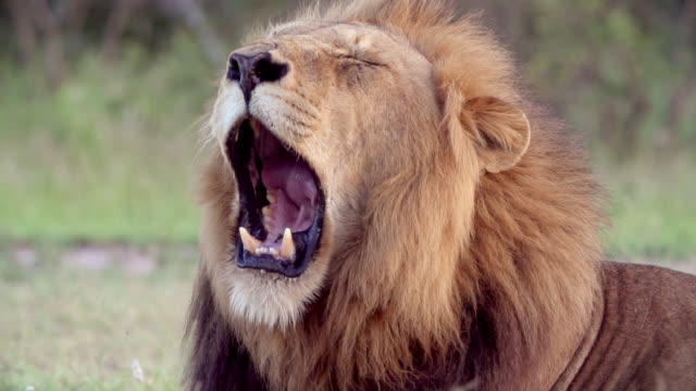 CU SLO MO Shot of Male lion yawning / Kruger National Park, Mpumalanga, South Africa