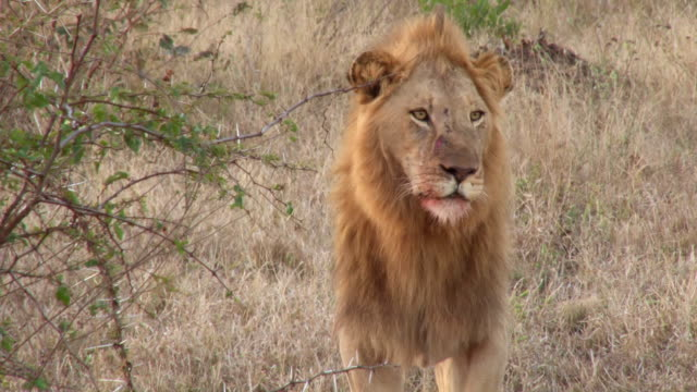 MS Shot of Male looking pride / Kruger National Park, Mpumalanga, South Africa