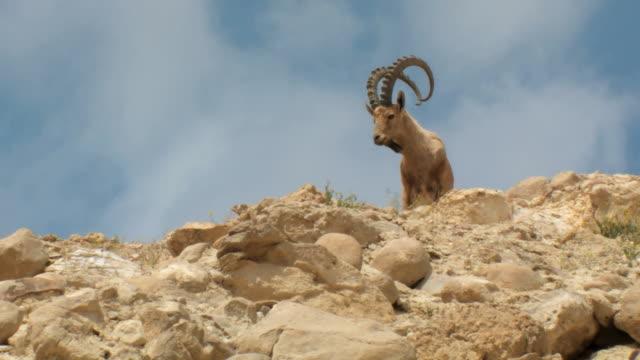 ms shot of male nubian ibex standing on mountain slope and looking towards / ein avdat, negev desert, israel - ヤギ点の映像素材/bロール