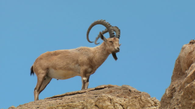 ms shot of male nubian ibex standing on mountain slope at nature reserve / ein avdat, negev desert, israel - standing stock videos & royalty-free footage