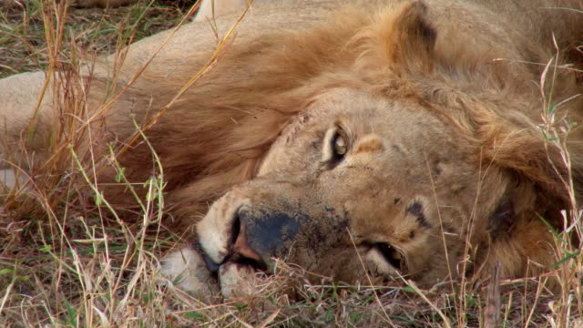cu shot of male resting in sun / kruger national park, mpumalanga, south africa - mpumalanga province stock videos and b-roll footage