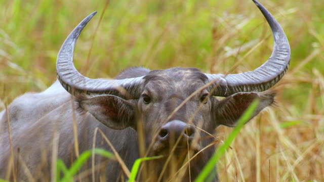 """""""cu shot of male water buffalo chewing in long grass / assam, golaghat, india"""" - water buffalo stock videos & royalty-free footage"""