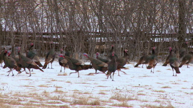 MS TS Shot of Male wild turkeys running and chasing / Tweed, Ontario, Canada