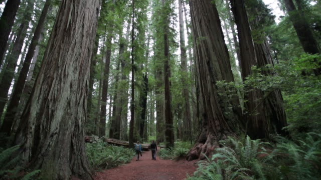 ms tu shot of man and woman walking away along hiking path in redwood forest / crescent city, california, united states - nordkalifornien stock-videos und b-roll-filmmaterial