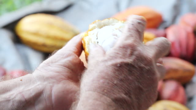 cu shot of man cracks open cocoa pod and taking cocoa beans out of it / kauai, hawaii, united states - insel kauai stock-videos und b-roll-filmmaterial