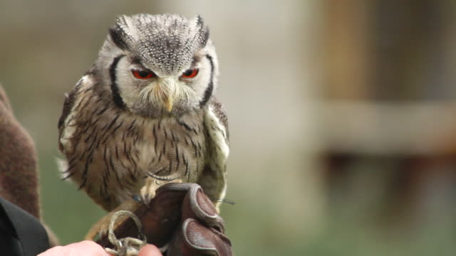cu shot of man holding baby owl / bovey, england, united kingdom - wiese stock videos & royalty-free footage