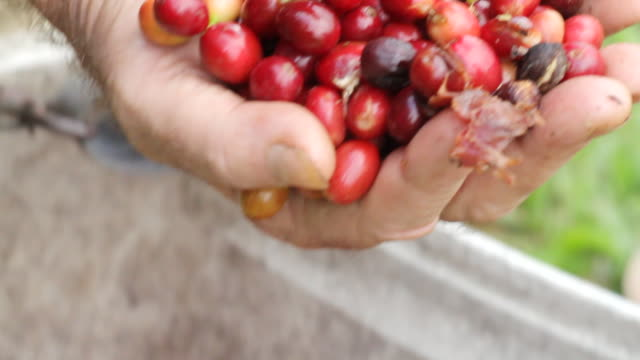 cu td shot of man holding handful of cranberries / kauai, hawaii, united states - isola di kauai video stock e b–roll