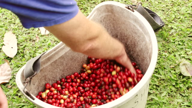 ms shot of man moving hand in large basket with full of cranberries / kauai, hawaii, united states - isola di kauai video stock e b–roll