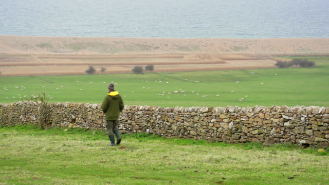 ms shot of man walking on field in front of sheep and water / abbotsbury, england, united kingdom - wiese stock videos & royalty-free footage