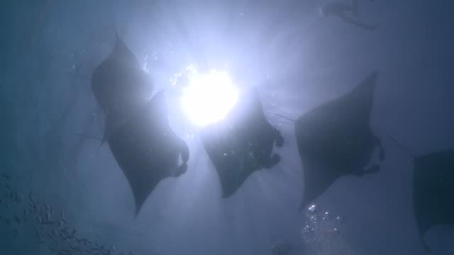 ms shot of manta ray chain / hanifaru, baa atoll, maldives    - chain stock videos and b-roll footage