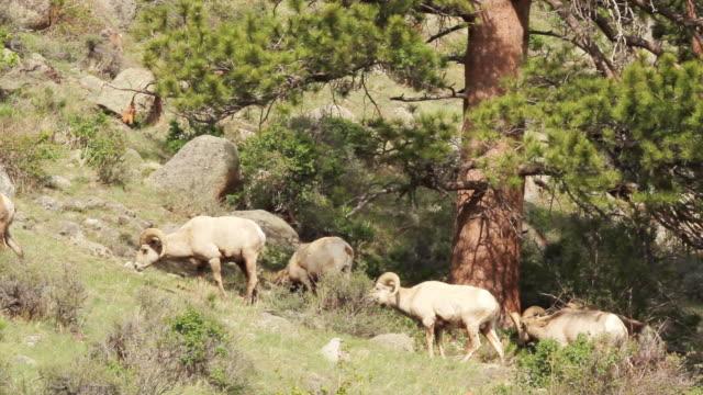 stockvideo's en b-roll-footage met ms shot of many bighorn rams walking on hillside / estes park, colorado, united states - estes park
