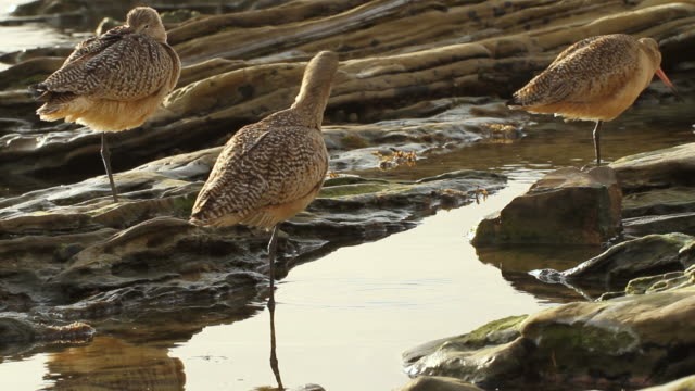 MS Shot of marbled godwits (Limosa Fedoa) in tidal rocks along rocky coast of Crystal Cove / California, United States