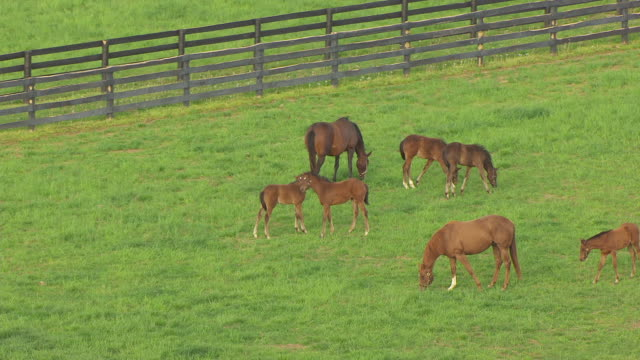 ms aerial ds shot of mare and foals grazing in pasture at winstar track / versailles, kentucky, united states - kentucky stock videos and b-roll footage
