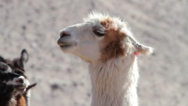 cu shot of maroon and white furred llama / road from san pedro de atacama to laguna miscanti, atacama desert, chile - animal head stock videos & royalty-free footage