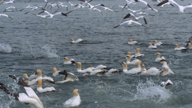 WS SLO MO Shot of Mass of seabirds northern gannets Morus bassanus flying, diving and sitting on water / Ailsa Craig Island near Girvan, Ayrshire, Scotland