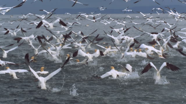 vídeos y material grabado en eventos de stock de ws slo mo ts shot of mass of seabirds northern gannets morus bassanus taking off and flying / ailsa craig island near girvan, ayrshire, scotland - pájaro acuático