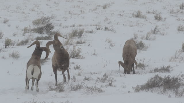 ms/slomo  shot of massive bighorn sheep rams (ovis canadensis) butting heads in the snow - small group of animals stock videos & royalty-free footage