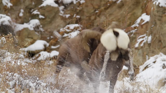 ms/ts  shot of massive bighorn sheep rams (ovis canadensis) head butting in fresh snow during the november rut - sheep stock videos & royalty-free footage