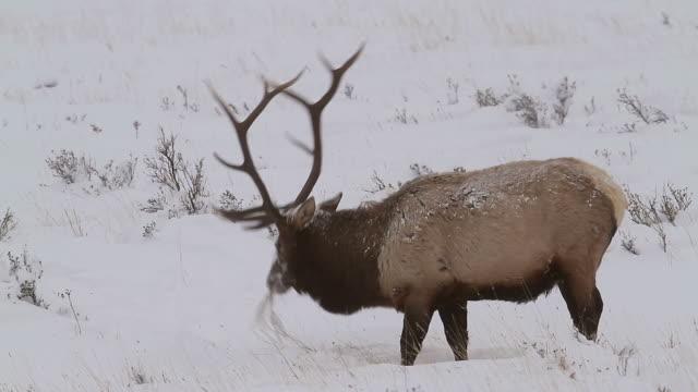 stockvideo's en b-roll-footage met ms shot of massive bull elk with huge antlers digging for grass through fresh snow / estes park, colorado, united states - estes park