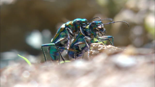 vídeos de stock e filmes b-roll de shot of mating a couple of cicindela chinensis - inseto