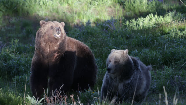 ts  4k  shot of mating grizzly bears (ursus arctos) during their spring courtship - north america stock videos & royalty-free footage