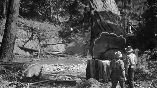 vidéos et rushes de ms shot of men cutting down redwood tree in forest eureka and small stream in back side - bûcheron