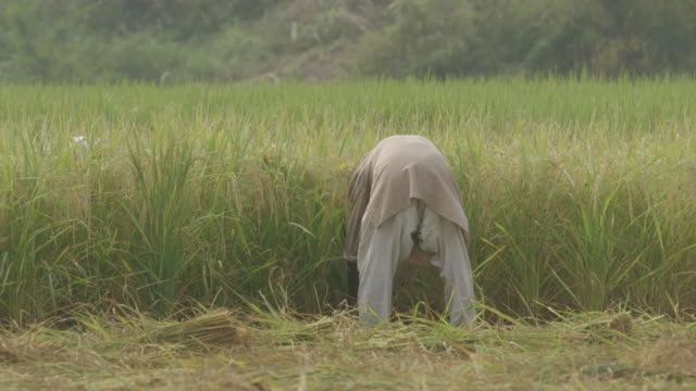 ms pan shot of men harvesting crop / new delhi, india - farm worker stock videos and b-roll footage