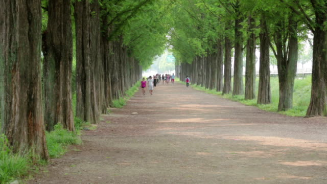 shot of metasequoia-lined street - damyang stock videos & royalty-free footage
